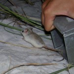 beach mouse dumping from trap
